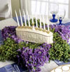 Hanukkah Boxwood and Statice Star Centerpiece
