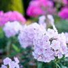 Garden Phlox