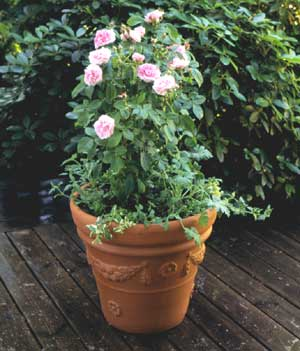 How to Pot Up Roses