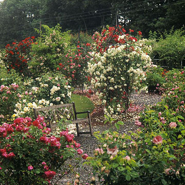 landscaping with roses - Fragrant Roses