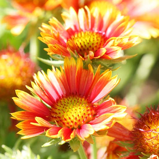 top  perennials for your garden, Natural flower