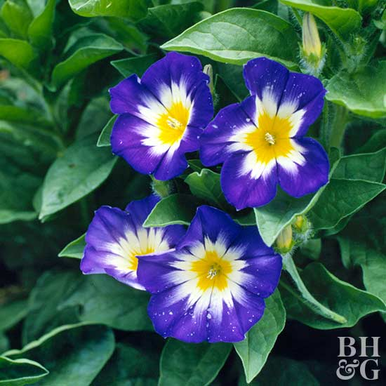 images morning glory flowers  flower, Natural flower