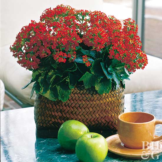 Kalanchoe – Better Homes and Gardens Plant Encyclopedia