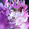 Cleome