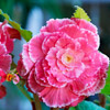 Tuberous Begonia