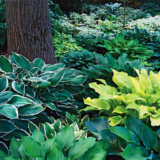 the  best perennials for shade, Natural flower