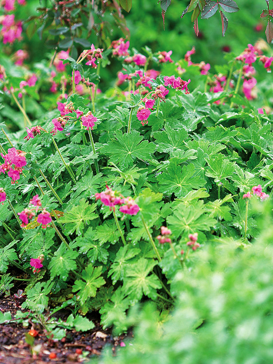 best perennials for shade, Beautiful flower