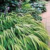 Japanese Forestgrass