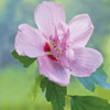 Rose of Sharon -- Shrub