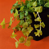 Golden Moneywort