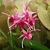 Epimedium
