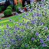 Bluebeard Shrub