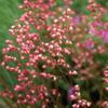 Coralbells