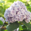 Reblooming Hydrangea