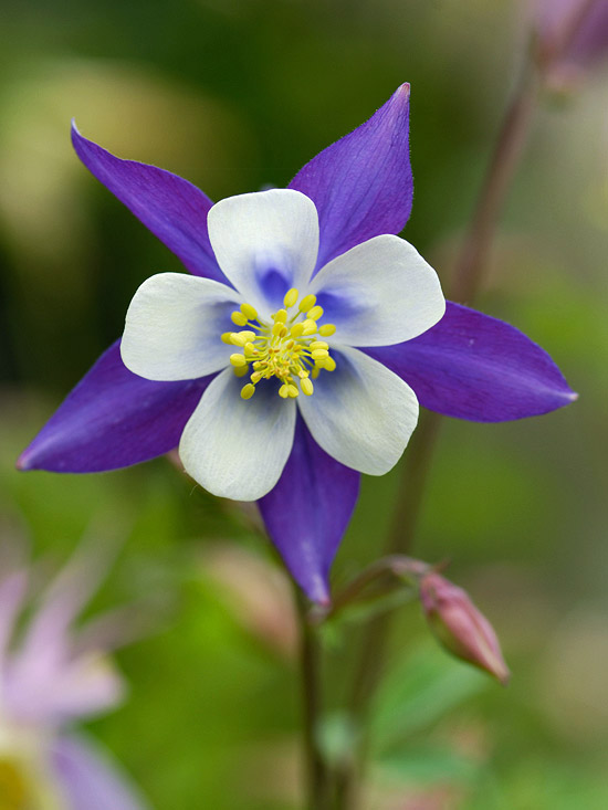 columbine, Beautiful flower