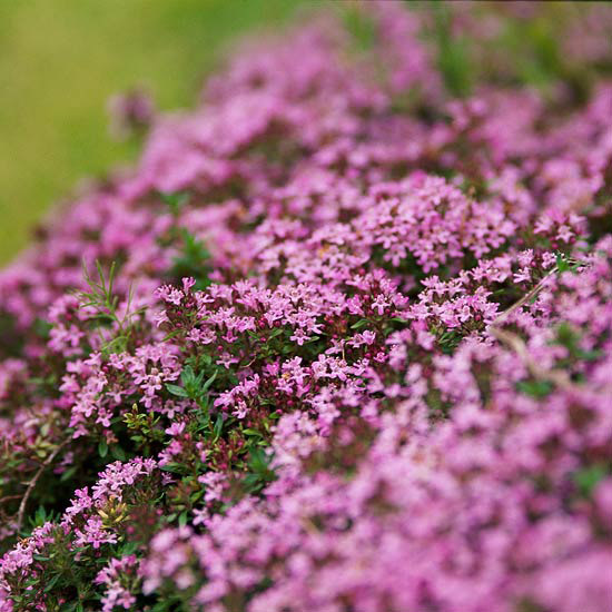 Easy groundcovers for your garden for Perennial ground cover with pink flowers
