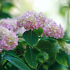 Hydrangea