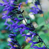 'Black and Blue' Salvia
