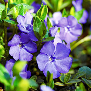 50 Greater Periwinkle (Vinca Major): Zones 7u201311; 3 Hosta U0027 ...