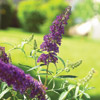 Butterfly Bush -- Shrub