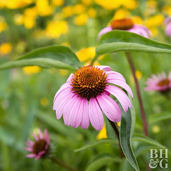 Top Coneflowers Selections From The Better Homes And Gardens Test Garden