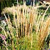 2001: 'Karl Foerster' Feather Reedgrass