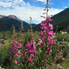Fireweed