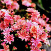 Lewisia