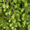 Canadian Hemlock