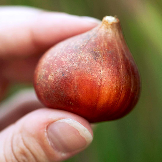 This End Up: Bulb-Planting Tips
