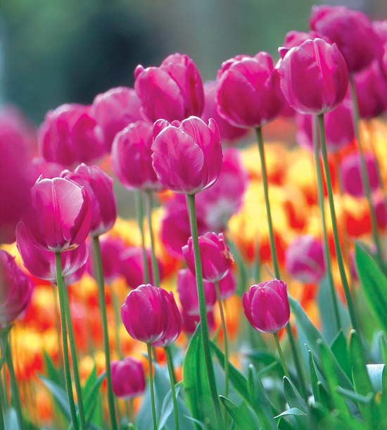 the  best tulips for your garden, Natural flower