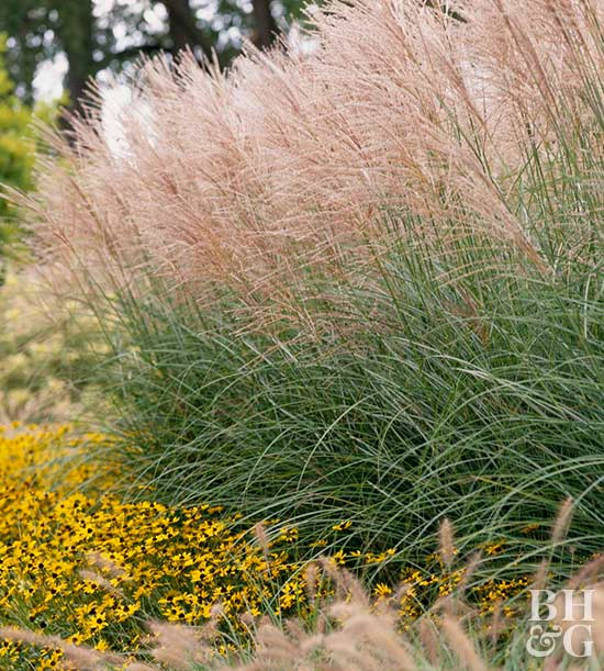 Ornamental grasses on pinterest grass hedges and for Tall grass border