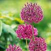 'Purple Sensation' Allium