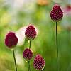 Drumstick Allium
