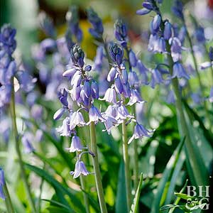 Spanish bluebell