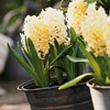 Hyacinth 'City of Haarlem'