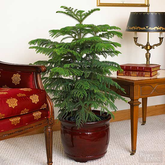 norfolk island pine - House Plants Vines