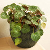 Strawberry Begonia