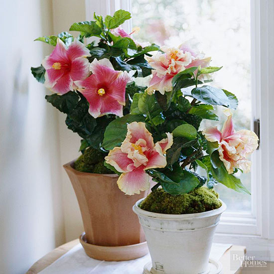 Superieur If You Like Tropical Plants, Consider Adding A Hibiscus Plant To Your  Desktop. Their Giant Blooms Are Available In Variety Of Colors From Pinks  And Reds To ...