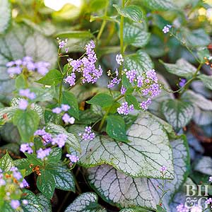 Heart-leaf brunnera