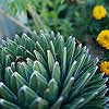 Deer-Resistant Plants for the Desert Southwest