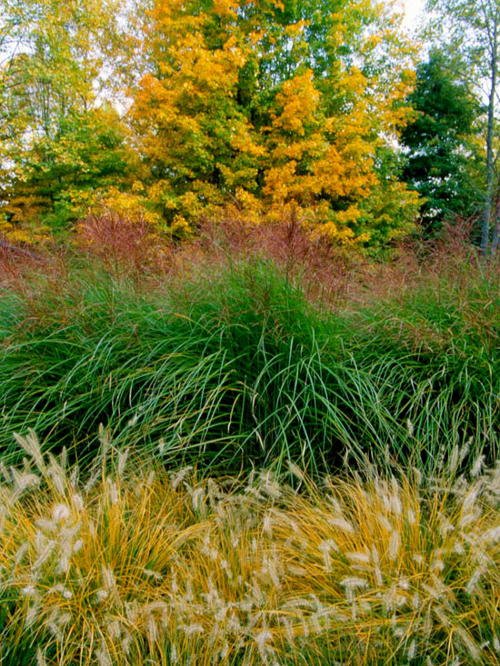 The beauty of ornamental grasses for Variegated ornamental grass varieties