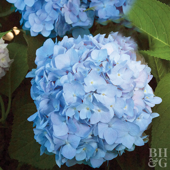 How to Get Blue Hydrangeas