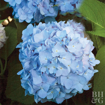 Our Favorite Blue Flowers