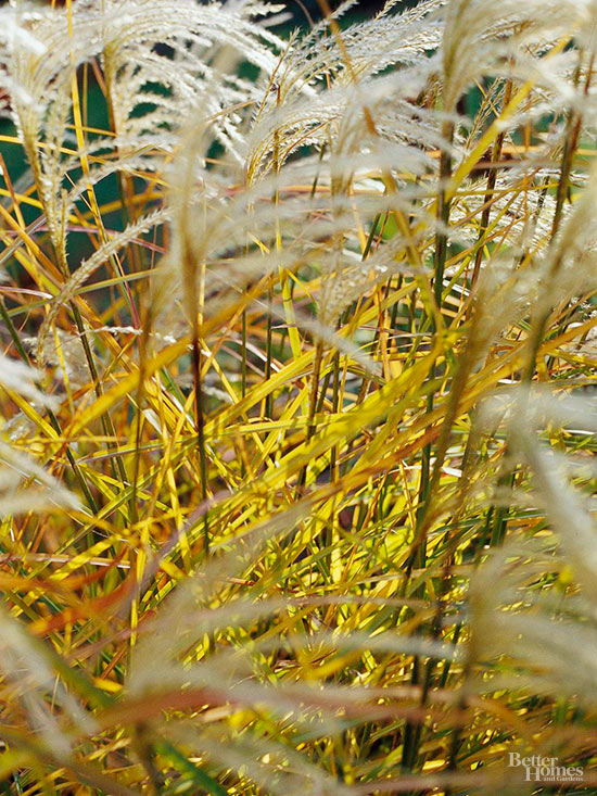 Great Deals On Cotton Candy Ornamental Grass