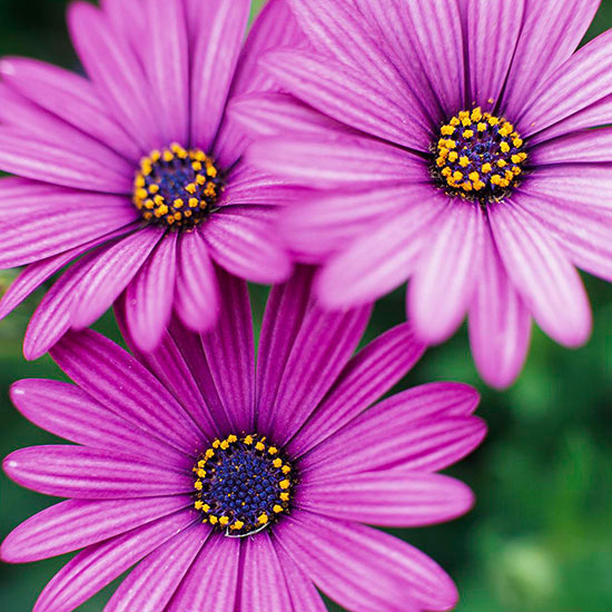 Purple Daisy Flower: Osteospermum
