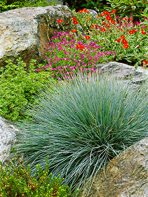 Blue fescue for Low growing perennial ornamental grass