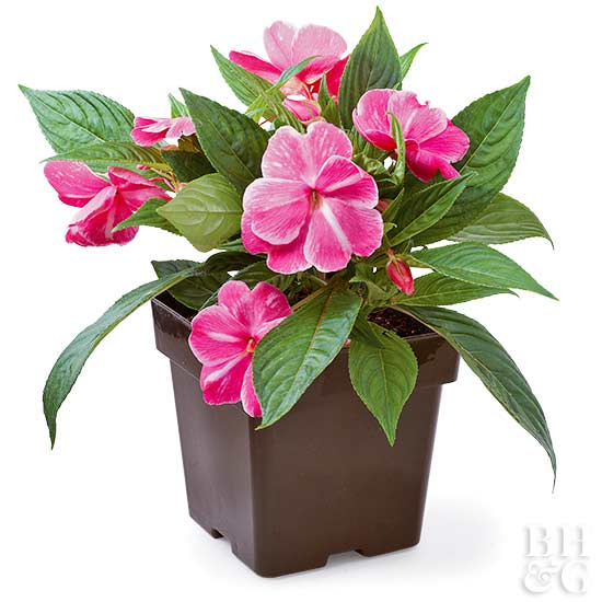 New guinea impatiens New guinea impatiens