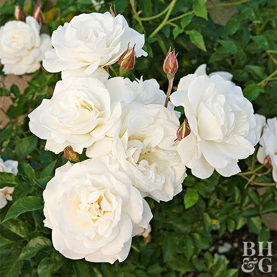 where to grow roses - Mini Roses Care Indoor