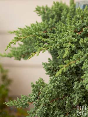 Juniper Shrubs